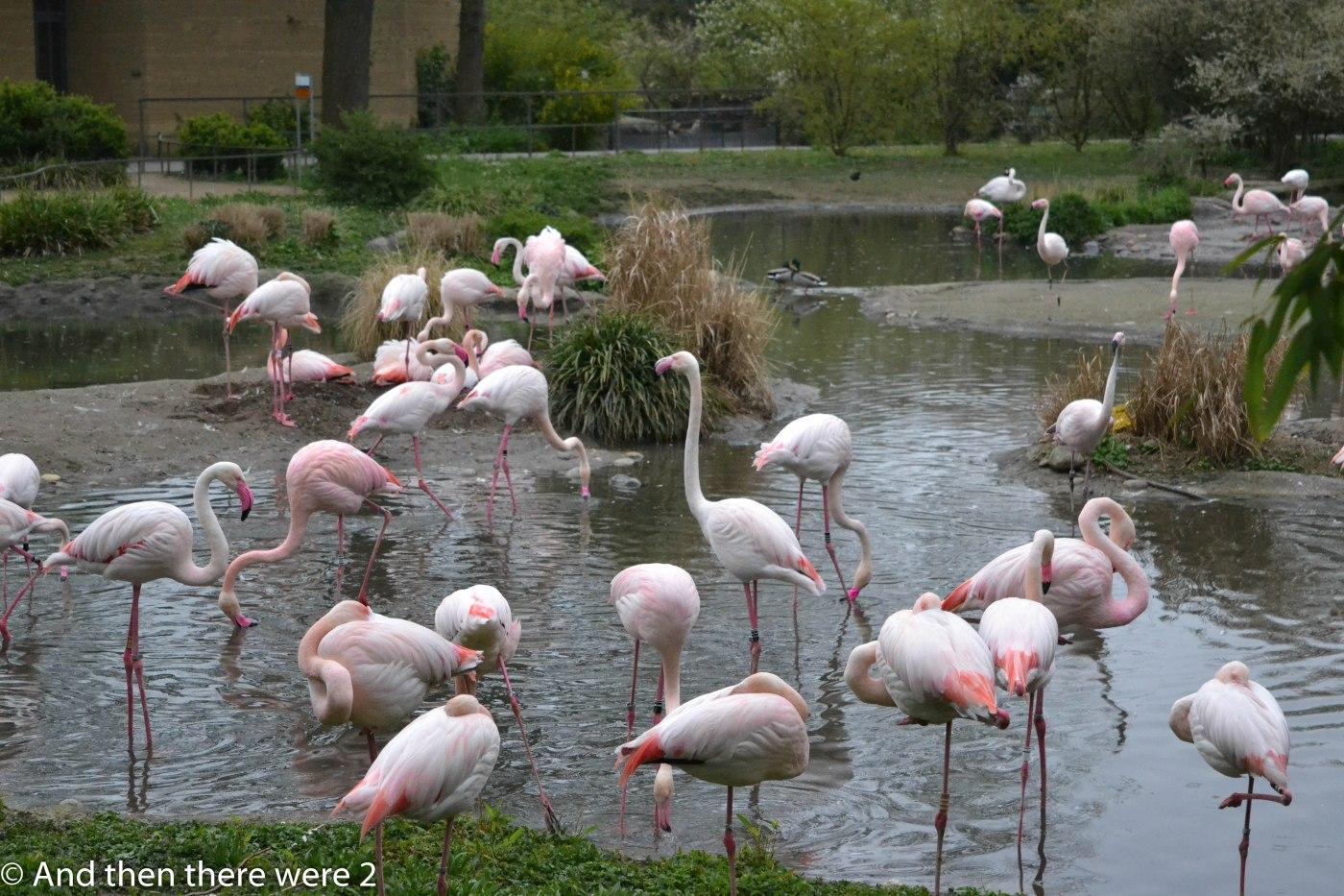 Flamingos at Basel Zoo
